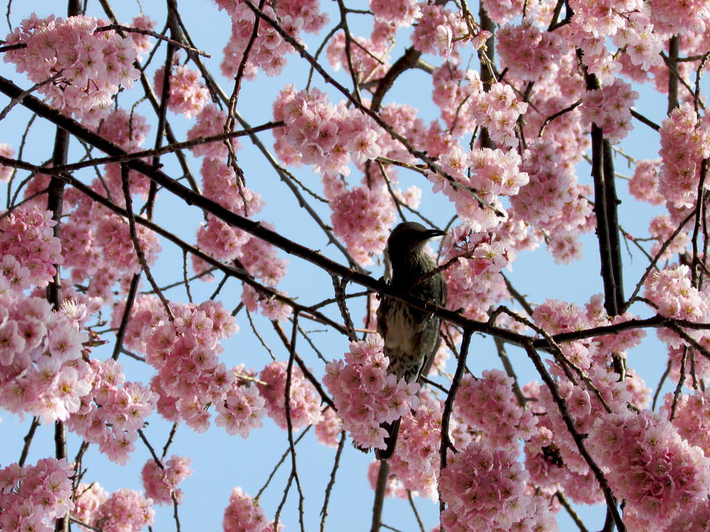 Bird among sakura flowers by kitsune89