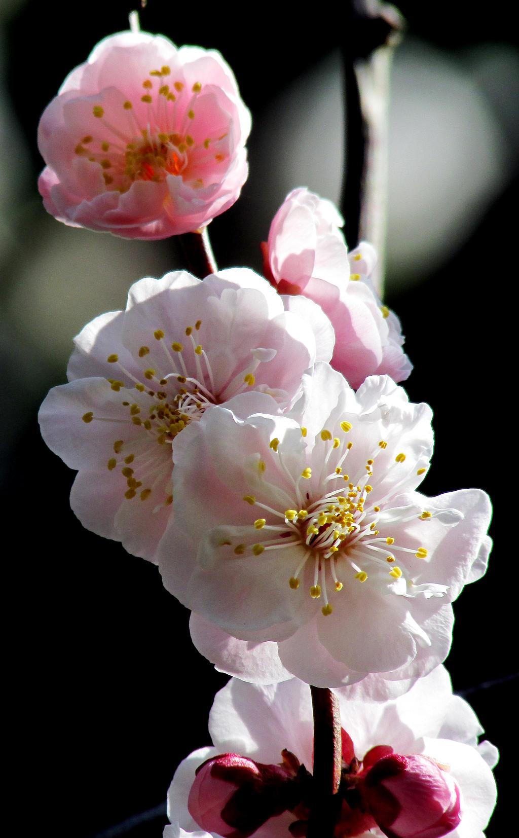 Plum blossom in tokyo by kitsune89
