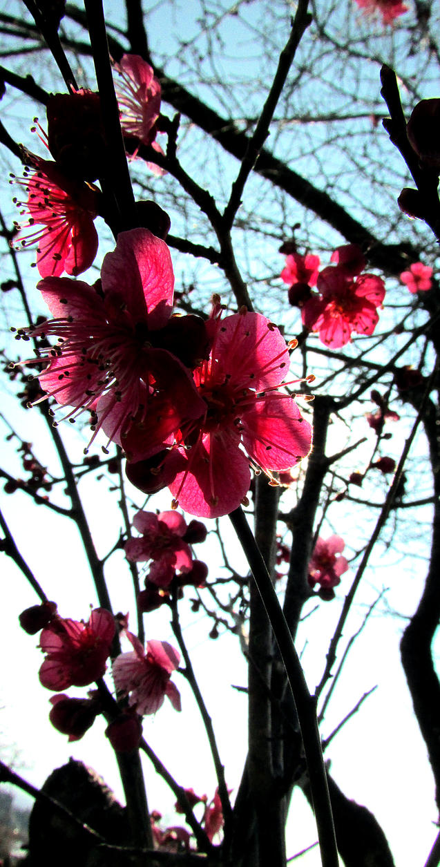 Plum blossom in Japan by kitsune89