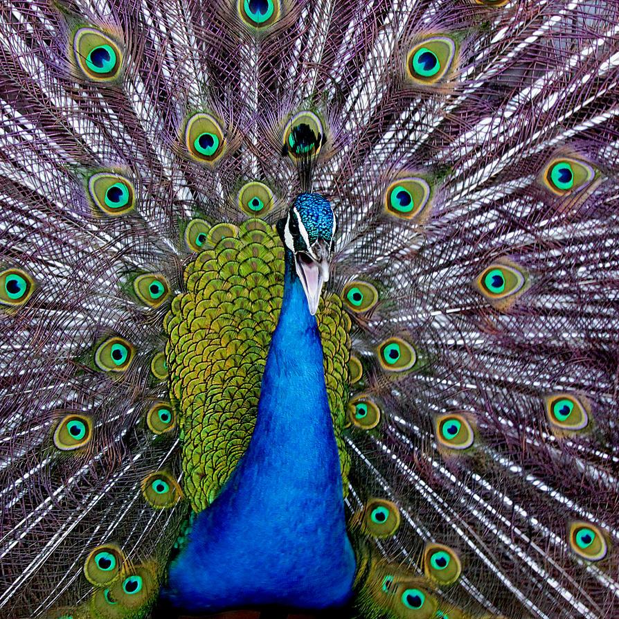 peacock by kitsune89