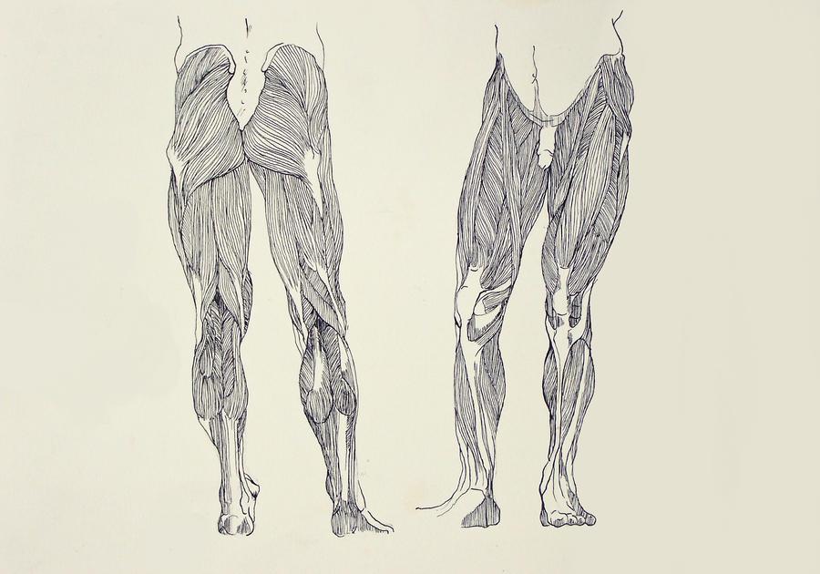 leg muscles drawing - photo #25
