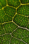 Veins of a Leaf by robertcottrell