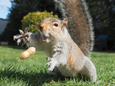 Squirrel 152: Peanut!