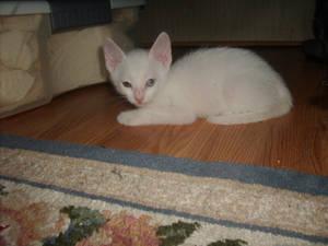 My new pet kitten