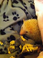 Hedgemuffin