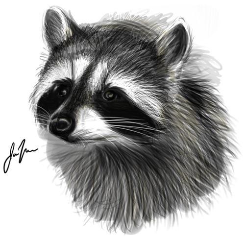 Raccoon by CeruleanRaptor on DeviantArt Raccoon Drawing