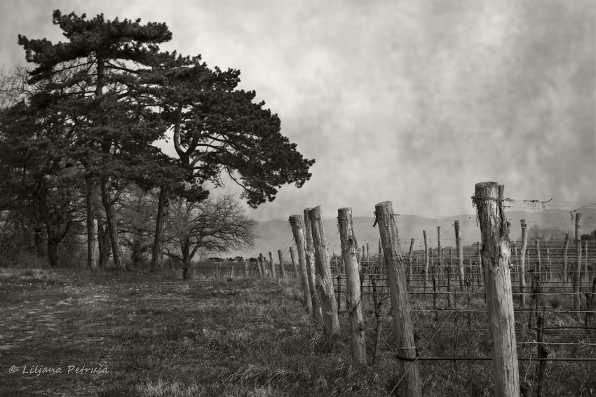 Vineyard by lpetrusa