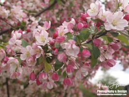 Flourishing Sakura