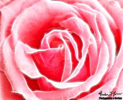 Delicateness of a Rose