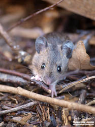 Wood Mouse Exploring
