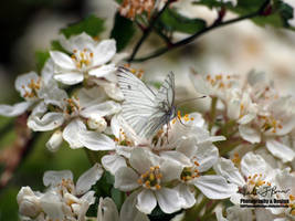 Male Green-Veined White Butterfly on White Blossom