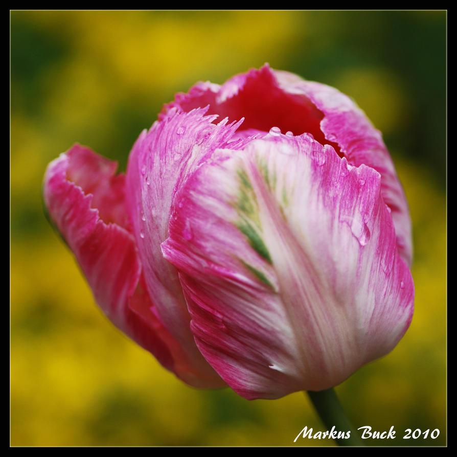 Rosa Tulip by HobbyFotograf