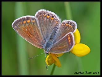 Polyommatus icarus by HobbyFotograf