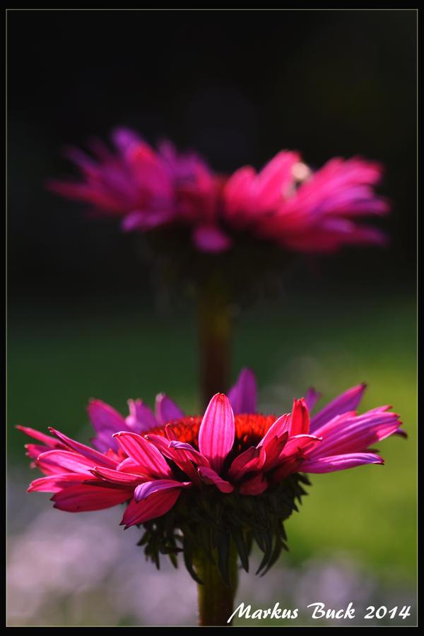 Echinacea by HobbyFotograf