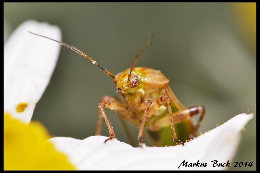Miridae by HobbyFotograf