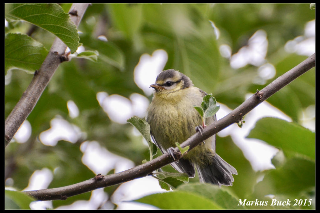 Little Blue Tit by HobbyFotograf