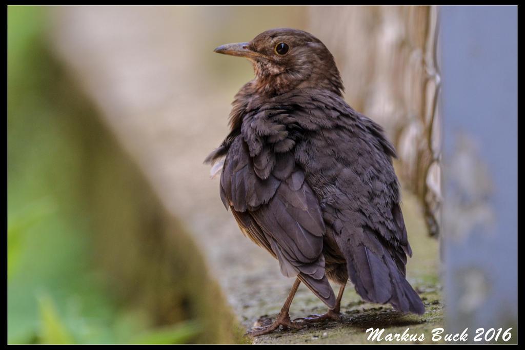 Baby Blackbird by HobbyFotograf