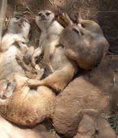 Slumbering Meerkats by ChaosKomori