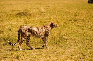 Cheetah by Mana-C-E