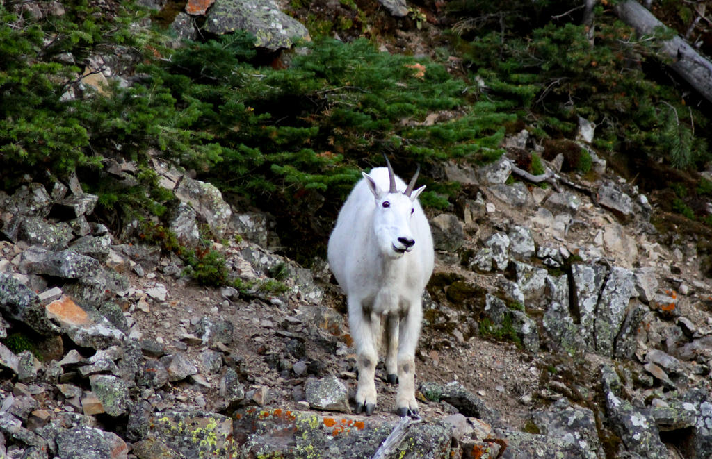 Mountain Goat by Mana-C-E