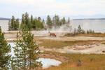 Elk of the hotsprings