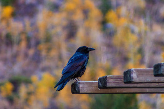 Raven in fall colors