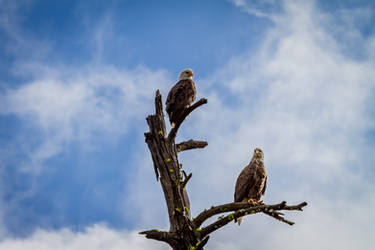Double Bald Eagles