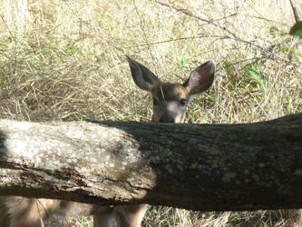 A Baby Deer Stares From Behind A Log