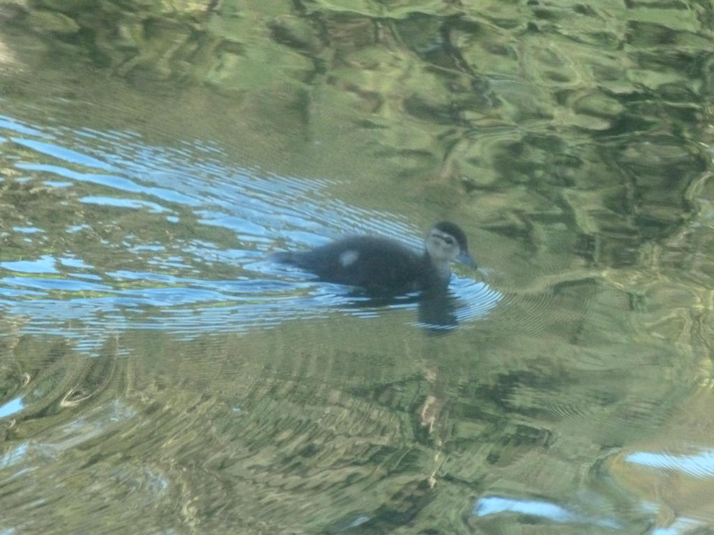 A duckling swims proud