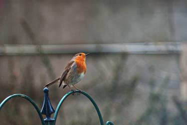 Robin by wintersmagicstock