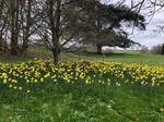 IMG 0051 Daffodil Swathe by wintersmagicstock