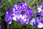 DSC 2915 Mottled Purple