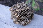 DSC 2912 Wasp Nest