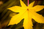 Yellow leaf pink stem