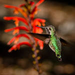 Green hummingbird at lunch by isotophoto