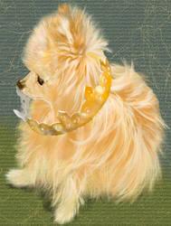 Crowned Pomeranian