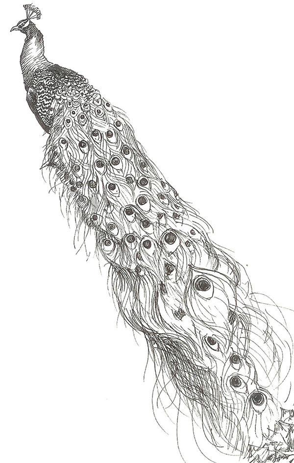 Realistic Peacock Drawings Peacock sketch by