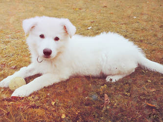 white shepherd puppy. by Unassailably