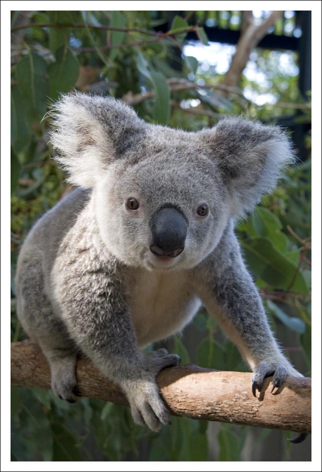Koala - 403 by eight-eight