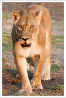 Lioness - 3026 by eight-eight