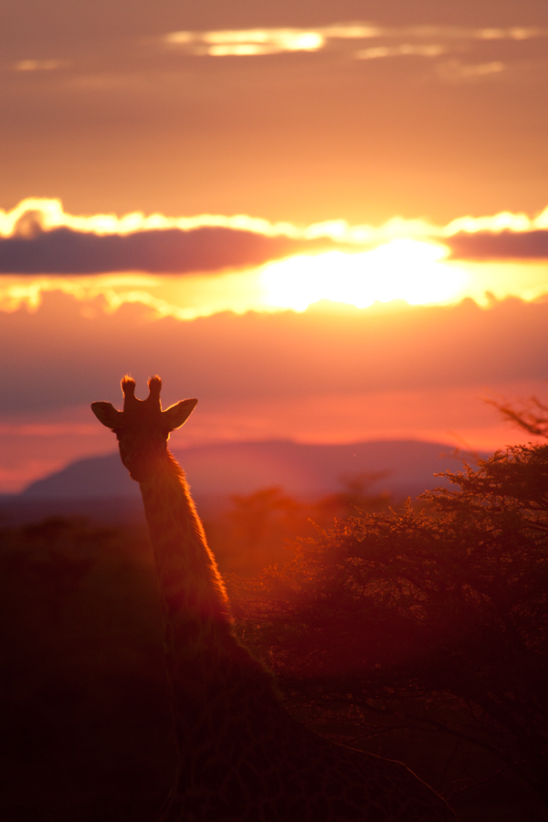 Giraffe at Sunset - 4381 by eight-eight