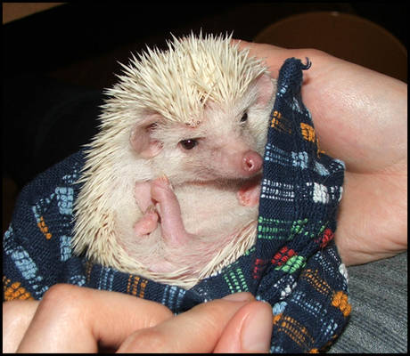 The mean hedgehog