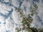 Stock 12 - Cherry blossoms in the sky 1