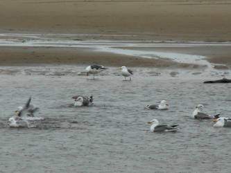 Bathing Gulls by kadajs-kitsune