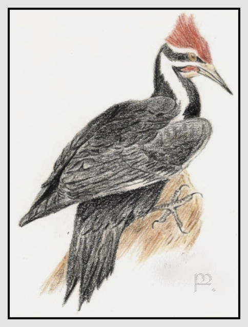 Pileated Woodpecker Drawing Pileated Woodpecker by...