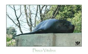 Phoca Vitulina