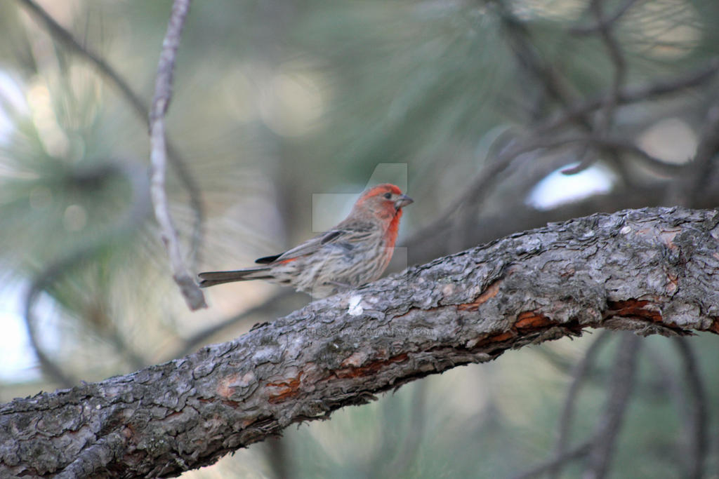 male house finch by theresashaw