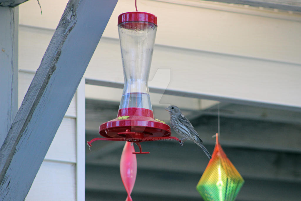 female house finch at humming bird feeder by theresashaw