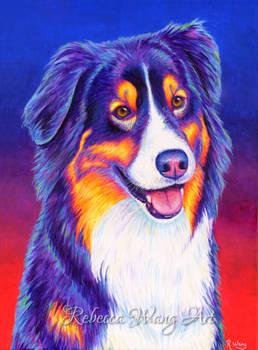 Colorful Tricolor Australian Shepherd - Shane