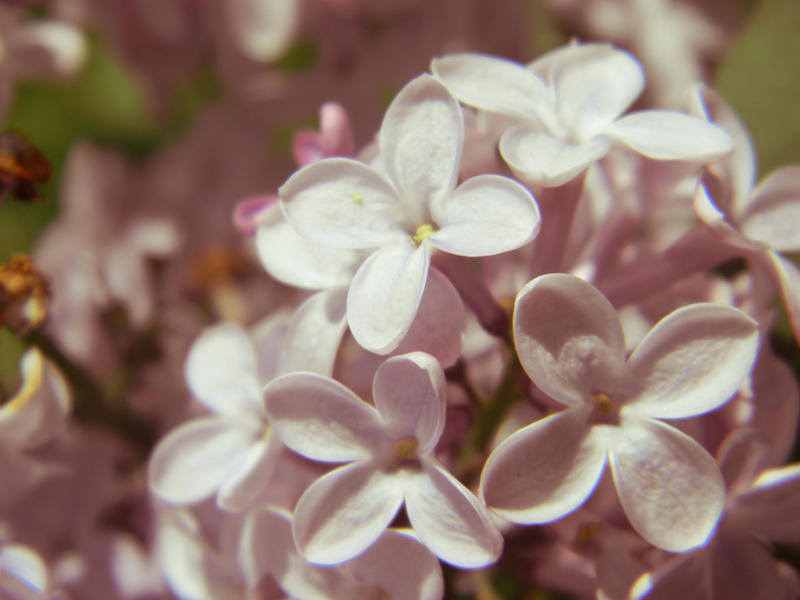 3182 lilac by barefootphotos